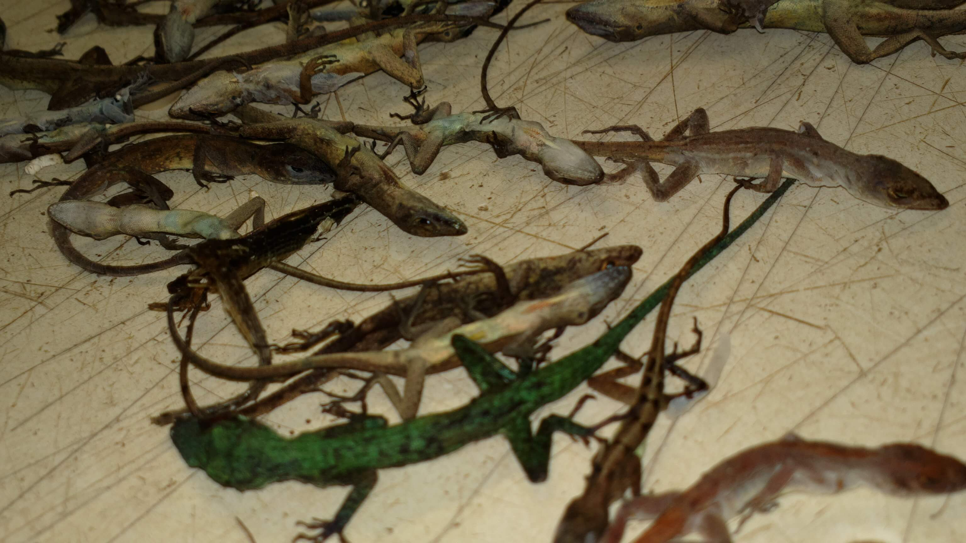 Reptiles Suffer Left To Die At Another Massive Petsmart