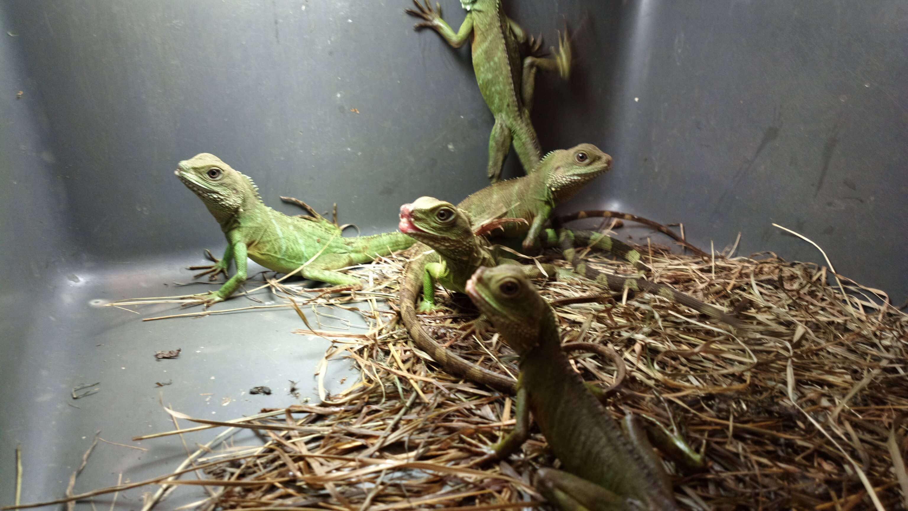 Petsmart lizards