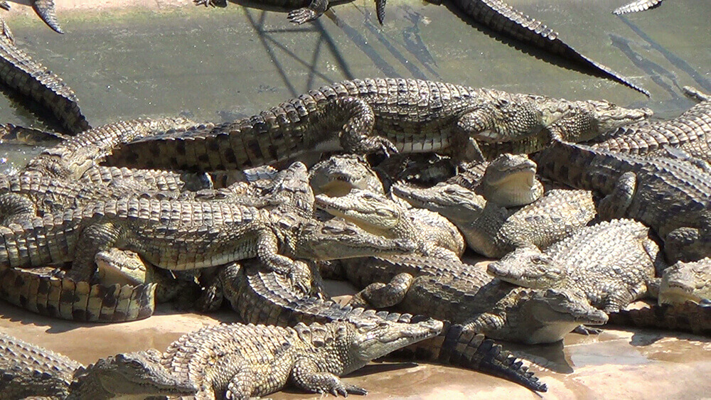 About 220 Yearling Crocodiles Are Confined To Each Concrete Pen The Skins Of These Animals Will Be Turned Into Products Such As Handbags Boots