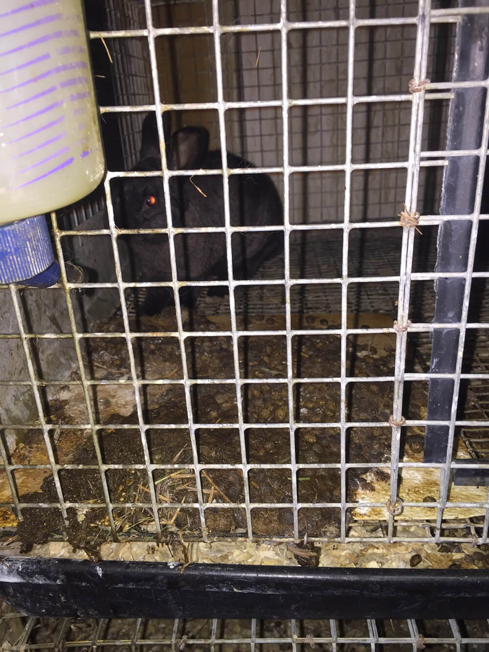 This Rabbit Was Caged Alone—with A Pile Of Feces Measuring Approximately 25  Square Inches—in One Of Several Buildings That Reeked Of Animal Waste