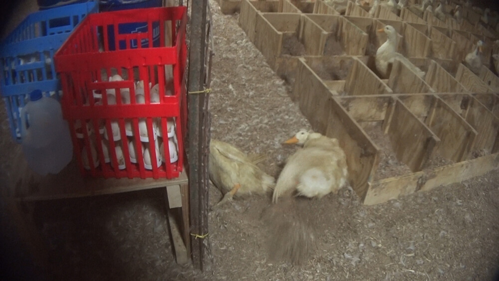 This duck survived for at least two minutes after a worker wrung her neck.