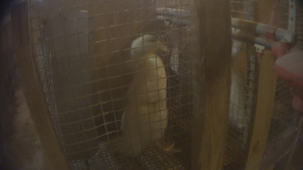 Some ducks like this one were kept in isolation for weeks before being slaughtered.