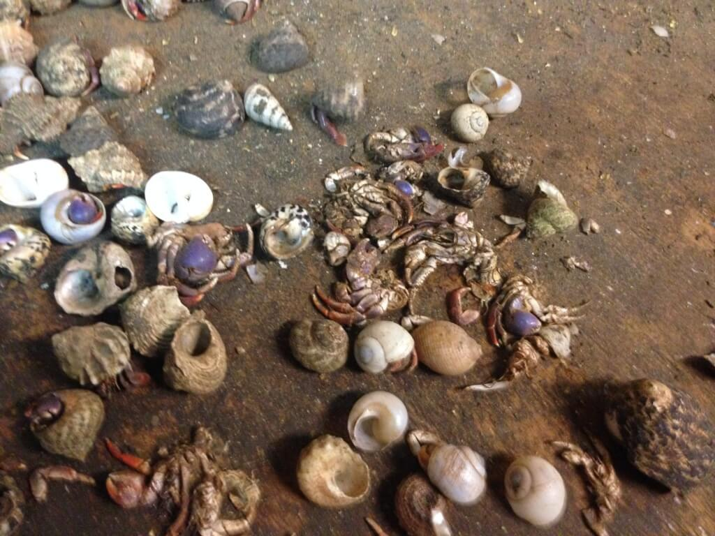 Exposed: Live Hermit Crabs' Shells Crushed, Hundreds Dead at