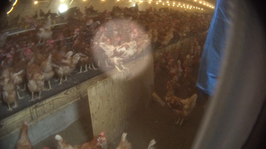 Chickens Crammed Inside Shed on 'Free-Range' Farm - PETA