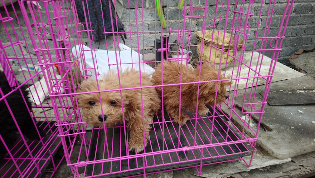 Dogs Treated As Breeding Machines In Chinese Puppy Mills