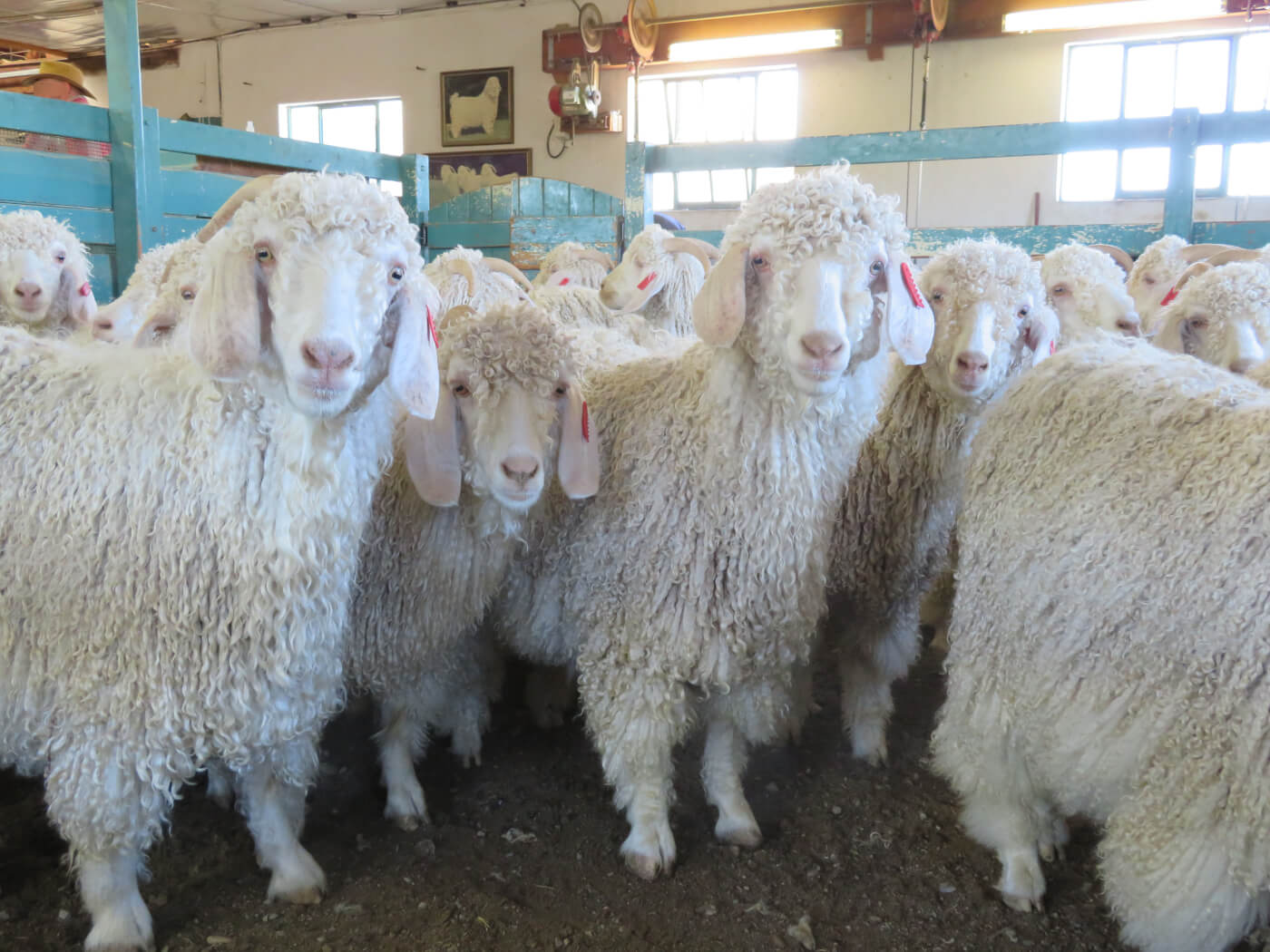 Breaking Video: Goats Thrown, Cut, Killed for Mohair—Help