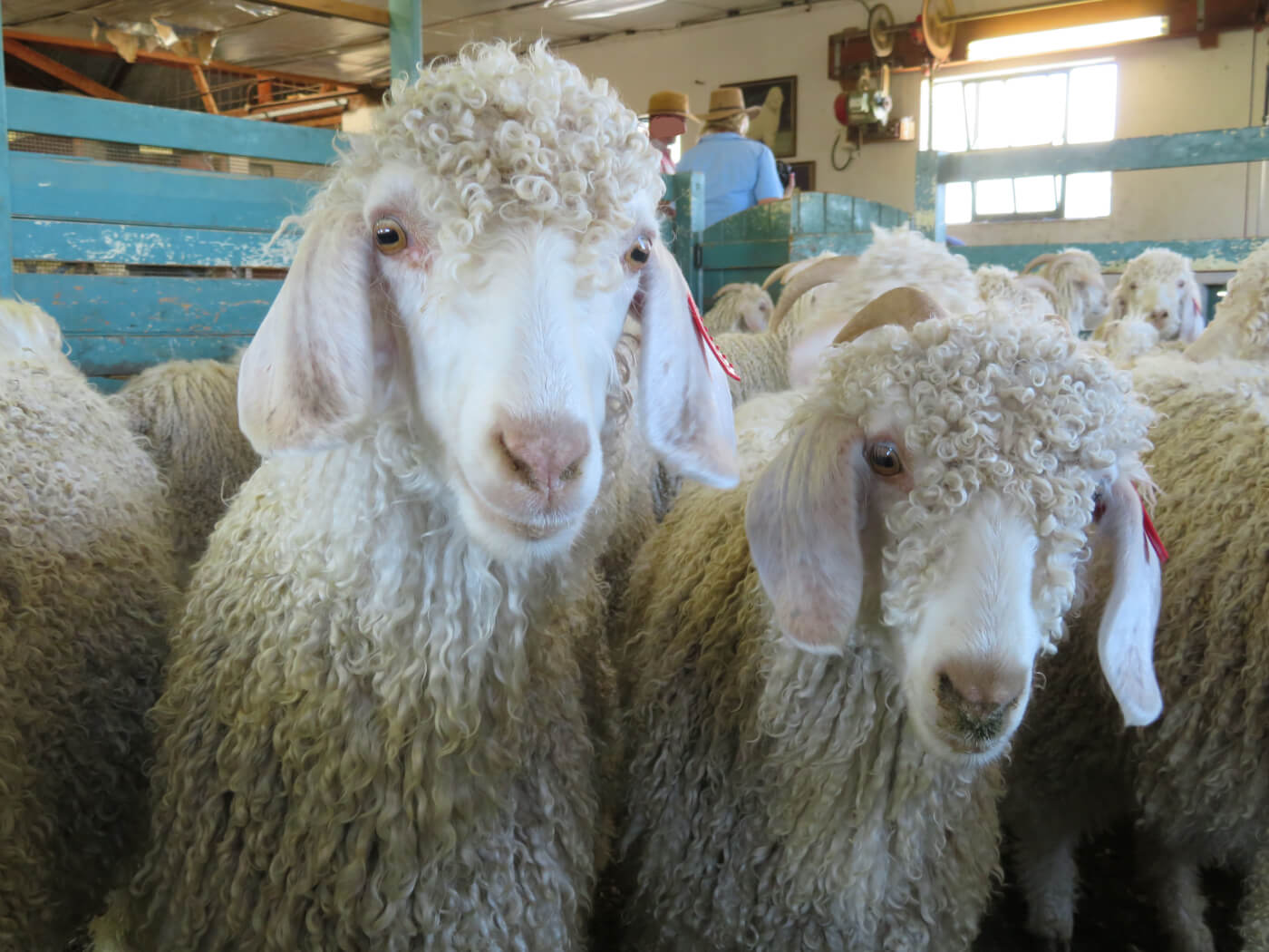 Breaking Video Goats Thrown Cut Killed For Mohair Help