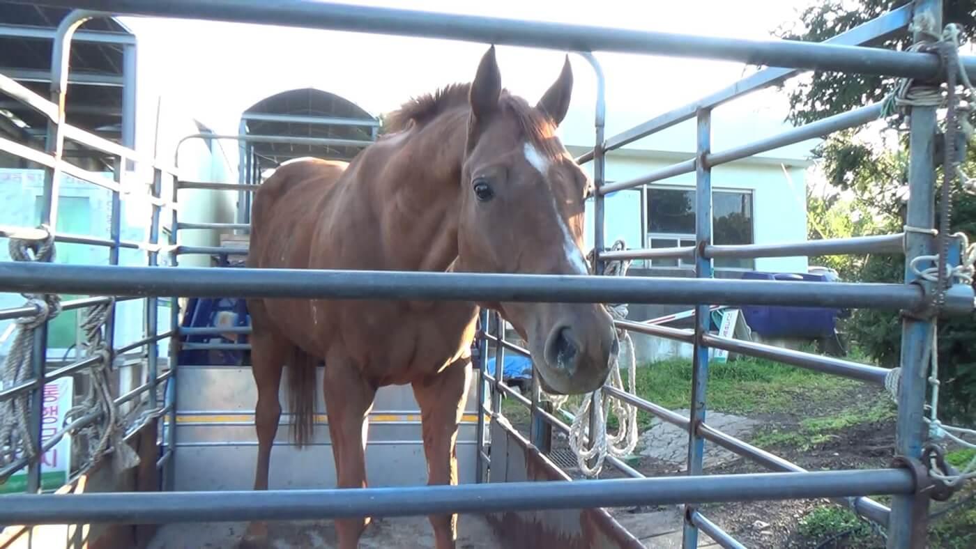 K-Cruelty: South Korea's Horse-Slaughter Industry | PETA