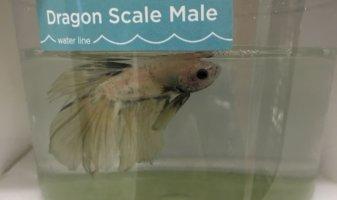 New PETA Exposé: Filth, Sickness, and Death for Betta Fish