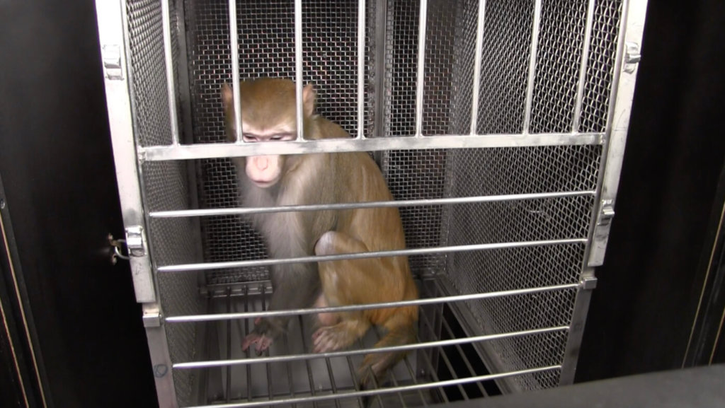 Monkey Used in Experiments at NIH