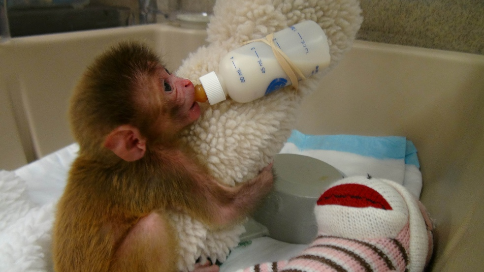 To Cause Life Long Psychological Trauma Baby Monkeys Are Taken From Their Mothers Just Hours After Birth And Given Only A Cloth Covered Bottle Replace