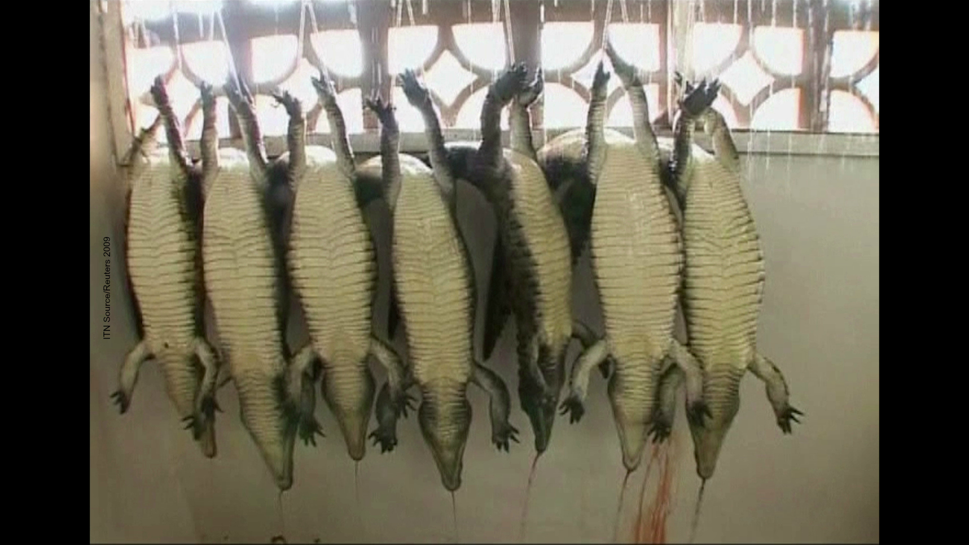 Exposed Crocodiles And Alligators Factory Farmed For
