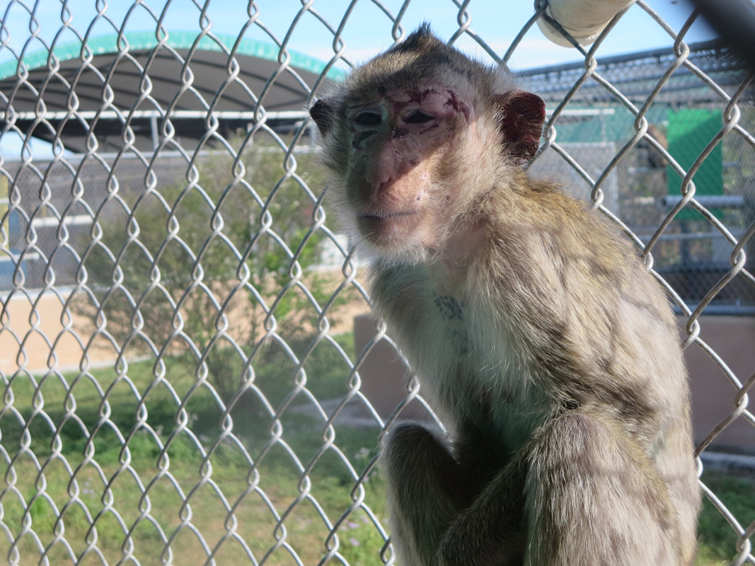 Monkeys Endure Pain, Fear and Death at Primate Products