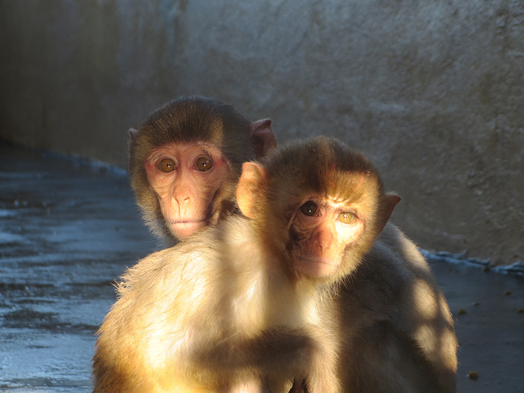monkeys endure pain fear and death at primate products