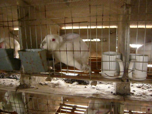 Limping rabbit with hurt hind leg.
